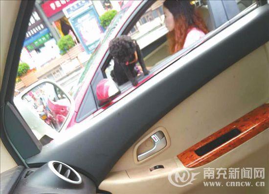 南充最牛女驾驶员开车也遛宠物狗,引起网友疯