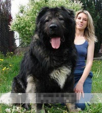 世界上最大的狗,体型庞大-看图