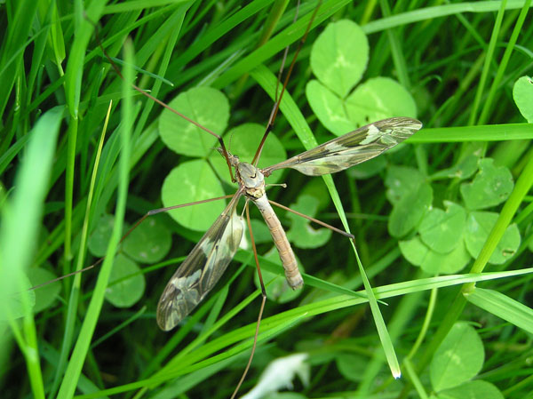 世界上最大的蚊子标本-发现于中国