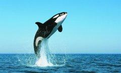 世界上最大的鱼-蓝鲸,地球上最大的海洋生物
