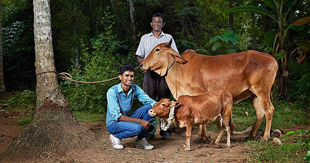 世界上最矮的牛来自印度喀拉拉邦的Manikyam