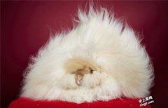 世界上最长的兔子毛长度为36.5厘米