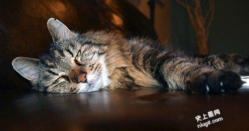 世界上最长寿的猫-Tiffany Two在27岁2个月20天的时候不幸去世