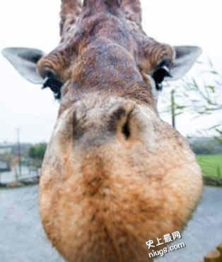 世界最高长颈鹿长什么样的?