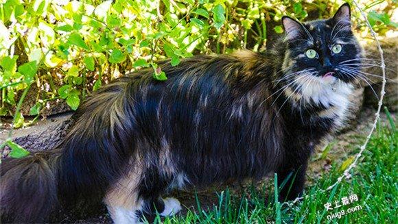 世界最长的猫毛25.68厘米(10.11英寸)