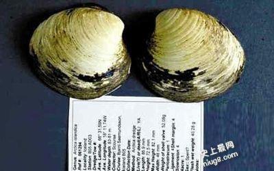 世界最古老生物-507岁的蛤蜊