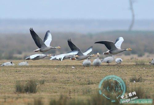 地球飞得最高的鸟就是大雁飞行高度近1万米