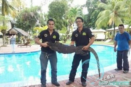 世界最大壁虎身长2.3米的