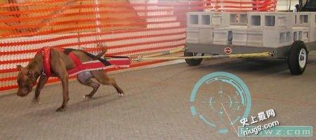 世界战斗力最强的狗是美国比特犬