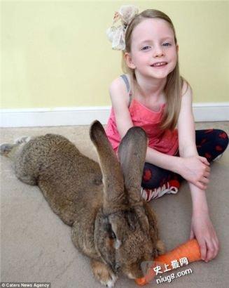 世界最大兔子超阶级海量-每天吃12根胡萝卜