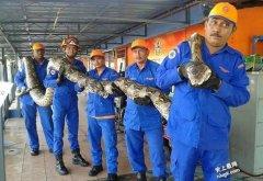 世界最长蛇纪录!工地发现8米巨蟒