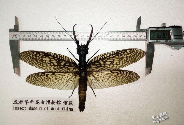 世界最大的水生昆虫-成都华希昆虫博物馆越中巨齿蛉