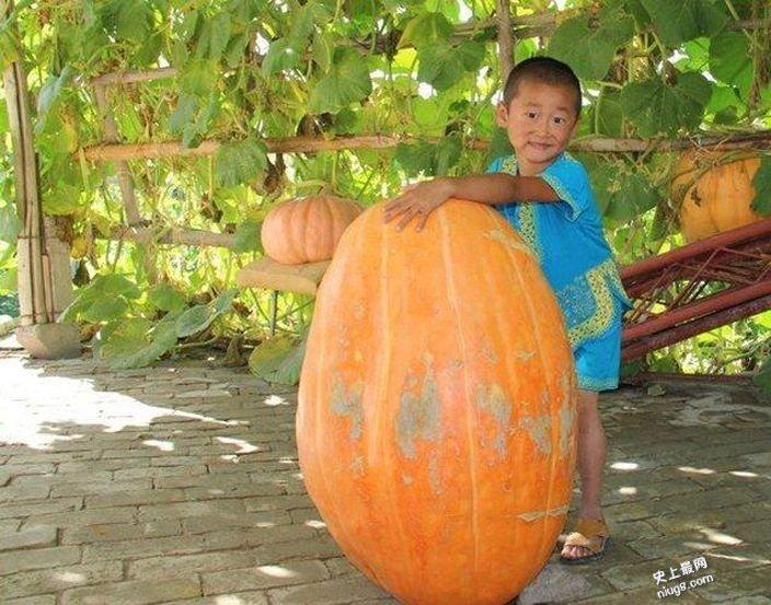 新疆焉耆县史上最大南瓜 重达48公斤的巨型南瓜