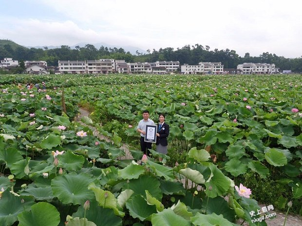中国莲花第一村(白莲之乡*广昌姚西)诞生世界最大的莲池