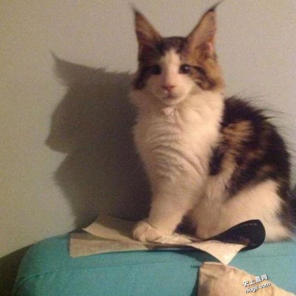 美国纽约巨猫-Samson的缅因猫 重28磅 体长达4尺