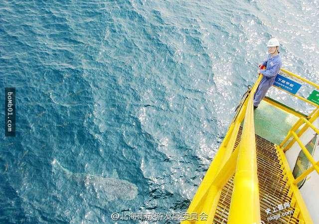 世界上体型最大的鱼类-鲸鲨出现在中国广西北海涠洲岛