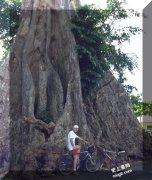 世界最老的丁香树Cengkeh Afo Ternate岛