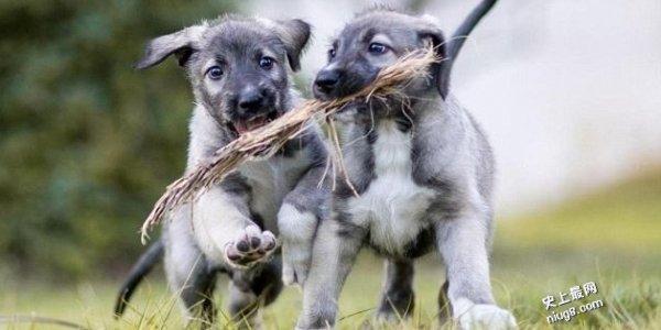 史上第一对「同卵双胞胎狗宝宝」出生了!