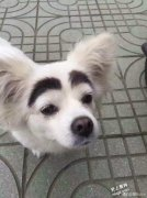 蜡笔小新小白狗自带天然「粗黑眉」