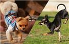 世界上前腿跑最快的狗 2.39秒