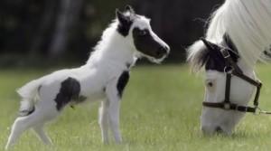 世界上最小的马身高14英寸(0.355米)