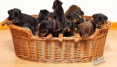 世界最多一胎生13只小狗的宾犬