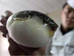 世界上最贵的剧毒小鱼是什么?广东河涌剧毒小鱼